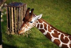 Eine Giraffe Lizenzfreie Stockbilder