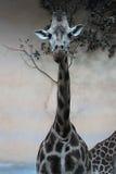 Eine Giraffe, die Fotografen betrachtet Stockbild