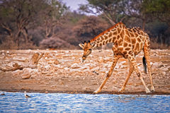 Eine Giraffe, die oben vom Trinken schaut Lizenzfreie Stockfotografie