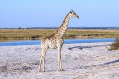 Eine Giraffe, die am Strand in Botswana steht Lizenzfreie Stockbilder