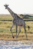 Eine Giraffe, die am Strand in Botswana steht Lizenzfreies Stockbild