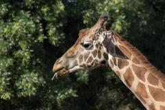 Eine Giraffe im Zoo Lizenzfreie Stockfotografie