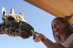 Eine Giraffe nimmt Sellerie von der Hand einer Frau Lizenzfreie Stockbilder
