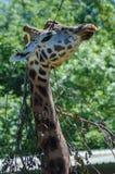 Eine Giraffe an Paignton-Zoo in Devon, Großbritannien Stockfotografie