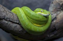 Eine glänzend farbige grüne Baum-Pythonschlange kräuselte sich oben in seiner Einschließung bei Adelaide Zoo in Süd-Australien in Lizenzfreies Stockbild