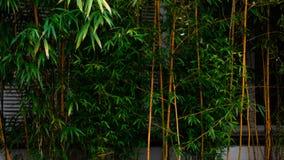 Eine grüne Bambushecke lizenzfreies stockbild
