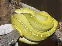 Eine grüne Baum-Pythonschlange umwickelte, nachdem sie verschüttet hatte lizenzfreie stockfotografie