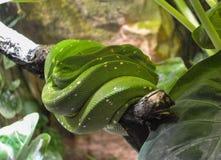 Eine grüne Baumpythonschlange Stockfoto