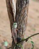 Eine grüne Eidechse sitzt auf einer braunen hölzernen Niederlassung Lizenzfreie Stockfotografie