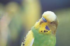 Eine grüne gewellte Papageiennahaufnahme Lizenzfreie Stockfotografie