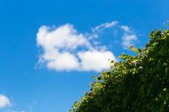 Eine grüne Hecke gegen den blauen Himmel stockbilder