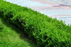Eine grüne Hecke von laubwechselnden immergrünen Büschen lizenzfreies stockfoto