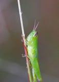 Eine grüne Heuschrecke lizenzfreies stockbild