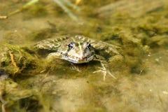 Eine grüne Kröte sitzt in einem schmutzigen Teich stockbild