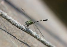 Eine grüne Libelle stockfotografie