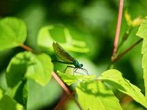 Eine grüne Libelle auf dem grünen Blatt Stockfotografie