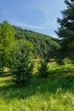 Eine grüne Lichtung mit Gras im Schatten eines großen Tannenbaums mit einer schönen Ansicht des Grüns neigt sich überwuchert mit  stockbild