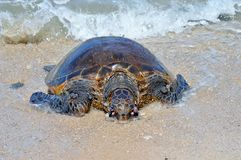 Meeresschildkröte Lizenzfreie Stockbilder