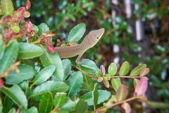 Eine grüne und braunfarbige Eidechse auf einem Busch Lizenzfreies Stockfoto