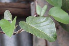 Eine Gr?npflanze w?hrend einer Sommersaison stockfotografie