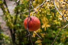 Eine Granatapfelfrucht Lizenzfreie Stockfotografie