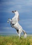 Eine graue arabische Pferdeaufzucht Stockfoto