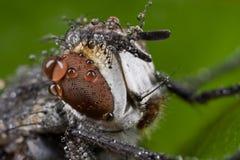 Eine graue Fliege mit Regentropfen Stockfotografie