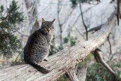 Eine graue gestreifte Katze auf einem Stamm eines eingestürzten Wacholderbuschbaums schaut Katze im wilden Sommer oder Frühling lizenzfreie stockfotografie