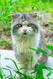 Eine graue Katze mit einer weißen Brust sitzt auf dem Gras lizenzfreies stockbild