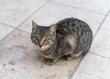Eine graue Katze sitzt auf der Fliese und wartet, Nahrung gegeben zu werden stockbilder