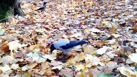 Eine graue Krähe auf gelben Blättern stock footage