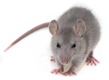 Eine graue Ratte Stockbilder