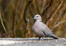 Eine graue Taube Stockbilder