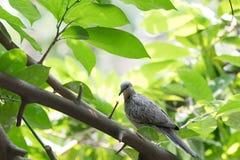 Eine graue Taube oder Taube, die auf Baum, grüne Szene hocken Lizenzfreie Stockfotos