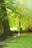 Eine Graugansgans, die auf dem Gras nahe dem Baum mit einem Fluss und einer Brücke am Hintergrund am sonnigen Tag des Sommers, Ox Stockfotografie