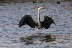 Eine Graureiherstellung im Wasser mit den Flügeln weit offen lizenzfreie stockfotos