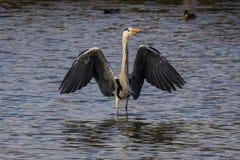 Eine Graureiherstellung im Wasser mit den Flügeln weit offen stockfotos