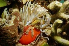 Eine grüne anhaftende Krabbe unter Wasser auf riesiger Anemone Stockbild