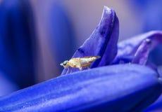 Eine Großaufnahme einer Fliege auf blauer Agapanthusblume Lizenzfreie Stockbilder