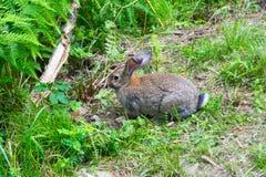 Eine Großaufnahme eines erwachsenen grauen Kaninchens mit dem großen Ohrsitzen stockfotografie