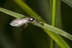 Eine große Ameise mit Flügeln und ein kleines nahe bei ihm Lizenzfreie Stockbilder