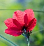 Eine große Anemone der Frühlingsblume Lizenzfreie Stockfotos