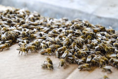 Eine große Ansammlung von Bienen auf einem Blatt der Pappe Schwärmen der Bienen Gestapeltes Makro, sehr ausführlich Lizenzfreie Stockfotos