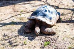 Eine große Erdschildkröte kriecht aus den Grund an einem sonnigen Tag Lizenzfreies Stockbild