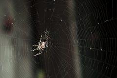 Eine große Gartenkreuzspinne sitzt auf einem Spinnennetz stockfotografie