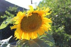 Eine große gelbe Sonnenblume wuchs im Garten Lizenzfreies Stockbild