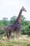 Eine große Giraffe, die im Busch steht Stockbild