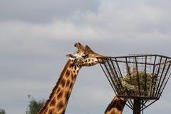 Eine große Giraffe isst Heu von einem Gestell im Zoo lizenzfreies stockfoto