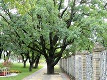 Eine große grüne ausbreitende Eiche, die mitten in einem breiten Bürgersteig wächst, deckte mit Ziegeln lizenzfreies stockbild