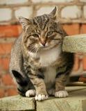 Eine große graue Katze, die auf dem Portal außerhalb des Hauses sitzt Stockbilder